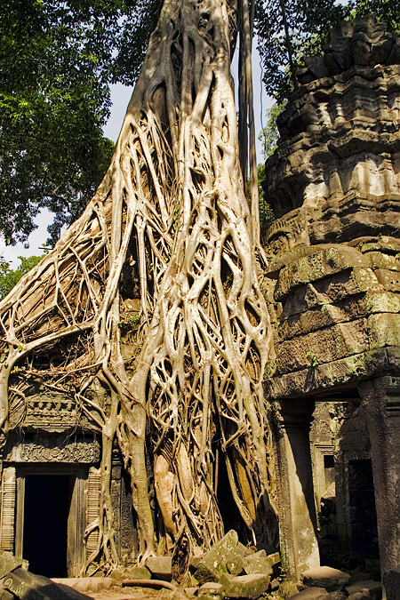 Tree roots and Ta Prohm, Angkor Wat, Cambodia. Seth Rosenblatt (c) 2006.