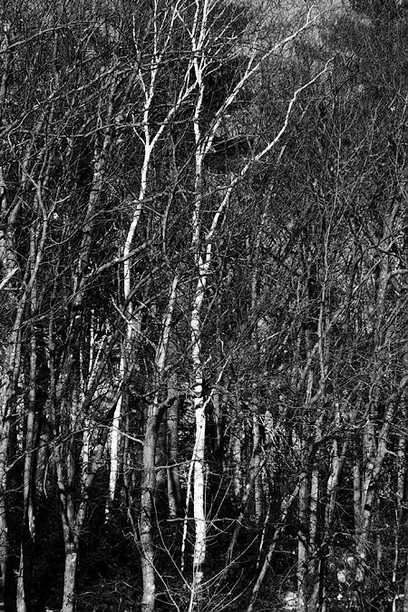 Trees at Walden Pond, Concord, MA. Seth Rosenblatt (c) 2007.